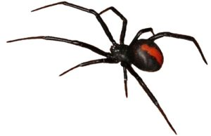 redback spider killed by Swarm Pest Control Brisbane